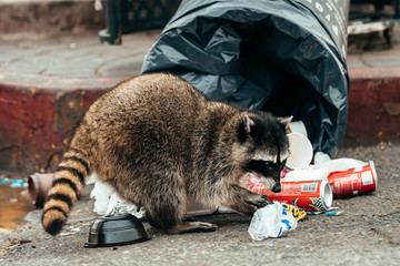 wild racoon looking for food