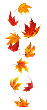 Isolated maple leaves. Falling red and orange maple leaves isolated on white background with clipping path