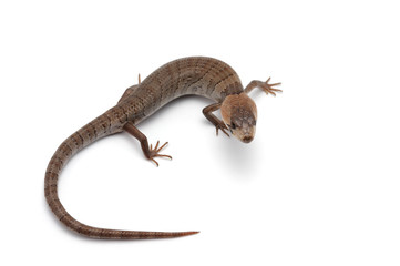 The pink-tongued skink isolated on white background