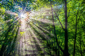 Sun rays in the forest in the morning