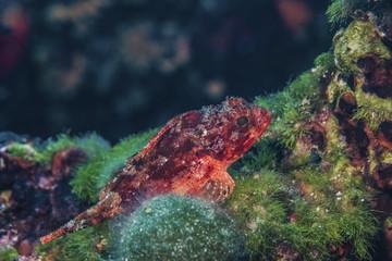 Red scorpionfish, close-up, Adriatic Sea,