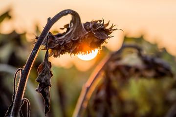 Verblühte Sonnenblumen im Spätsommer