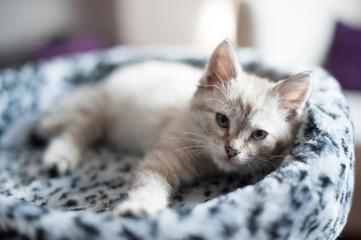 kitten of light color