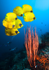 Poster Under water Underwater image of coral reef and School of Masked Butterfly Fish
