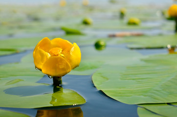Yellow water lily spatter-dock among green leaves