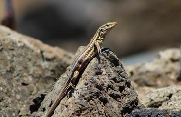 Lagarto, Gallotia Galloti, Teide, Islas Canarias