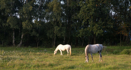 Fototapeta White and gray horse grazing in green field against a dark forest background
