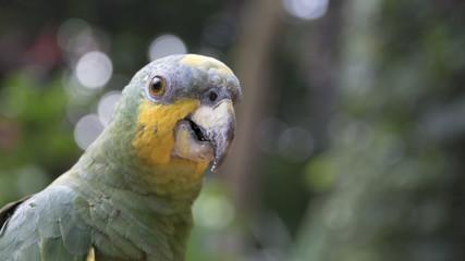 Papagaio brasileiro