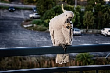 Australian Sulphur Crested Cockatoo close-up standing on a balcony rail with crest on display..Gosford, New South Wales, Australia. photograph by Geoff Childs.