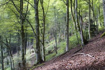 Forêt de hêtres en moyenne montagne