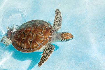 Foto op Plexiglas Schildpad Green sea turtle. Close-up