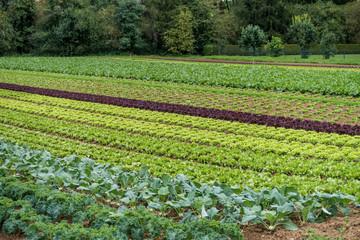 Salat anbauen Fotoväggar