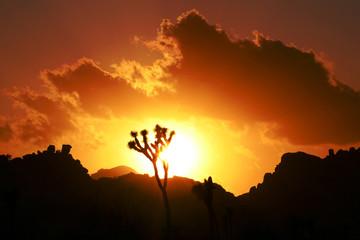 Joshua trees as sunset, Joshua Tree National Park, USA