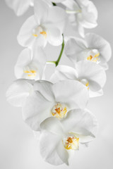White orchid on grey background