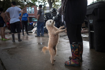A poodle asks to be held outside a house left flooded by Tropical Storm Harvey in Houston