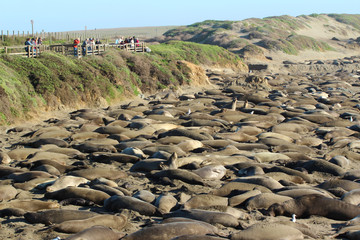 Elephant seals rookery during mating season near San Simeon, California, USA