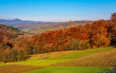 forest with red foliage on hills in autumnal countryside. stunning view of rural grassy fields in mountainous area with gorgeous high peak of blue mountain ridge in a distance