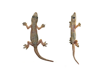 lizard, small reptile on isolated white background