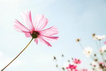 Wall Mural - Cosmos flower on blue sky background