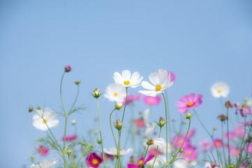 Fototapete - Cosmos flower on blue sky background