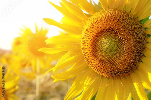Wall mural Sunflower in the field at Lopburi,Thailand