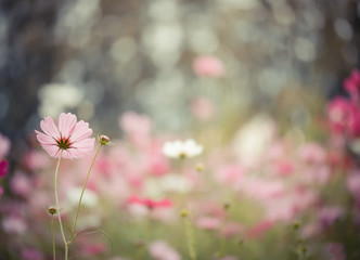 Fototapete - Cosmos flower with bokeh background in the field