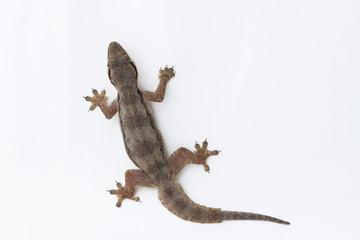 House lizard (Hemidactylus platyurus) on white background