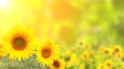Fototapete - Sunflowers on blurred sunny background