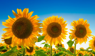 Three sunflowers against blue sky