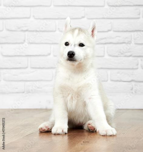 Studio Portrait Of Nice And Cute Siberian Husky Dog With Black Eyes