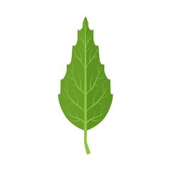 Beech tree green leaf vector Illustration