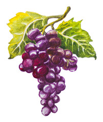 Grapes image painted in watercolor.