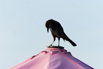 Raven Bird Black