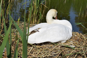 Swans with cygnets, baby swan