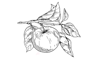 Contoured apple on a branch with leaves. Vector