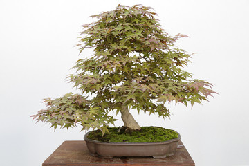 Foto auf Leinwand Bonsai Japanese maple (Acer Palmatum) bonsai isolated on white