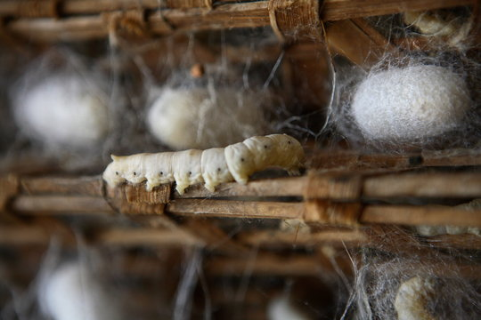 Silkworm farm with cocoons