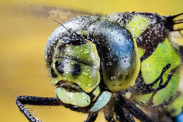 Focus Stacking - Common Hawker, Dragonfly, Hawker Dragonfly, Aeshna juncea