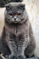 Scottish Folded Cat Gray