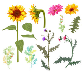 Set of autumn flowers: yellow sunflowers, gerbera daisy flower, thistle, small green twigs, red berries of asparagus, white background. Digital draw, collection in watercolor style for design, vector