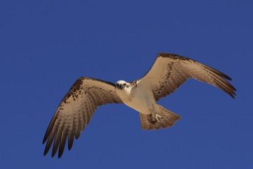 Osprey in flight carrying fish