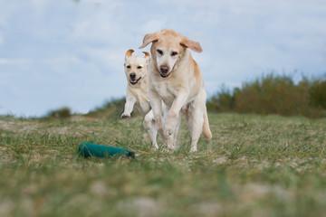 2 Labradore spielen
