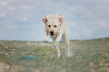 Labrador springt nach Dummy