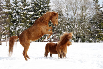 Arabian horse versus Shetland Pony