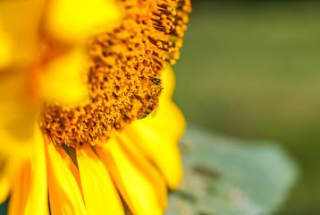 sonnenblume mit bestäubter biene