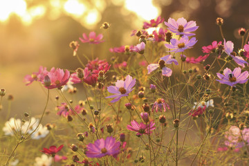 Floral background. Cosmos flowers at sunset.