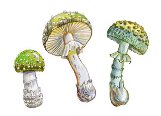 Green fly agaric, watercolor painting on white background isolated with clipping path.