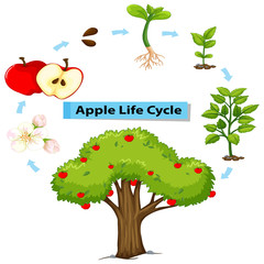 Diagram showing life cycle of apple