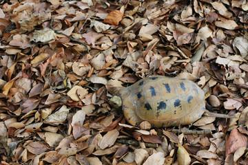 turtle walking on dry leaves