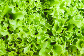 Fresh green salad leaf close up